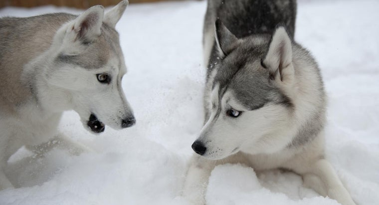 What Are the Differences Between a Husky and a Malamute?