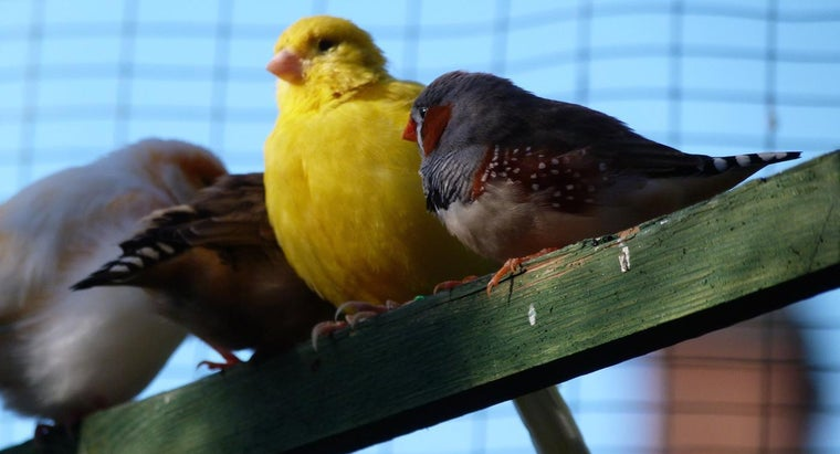 What Are the Differences Between Male and Female Canaries?