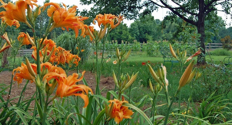 What Are Different Kinds of Lilies?