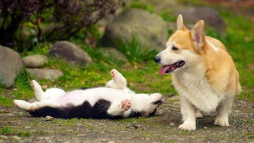 What Are the Different Types of Corgis?