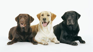 What Are the Different Types of Labrador Retrievers?