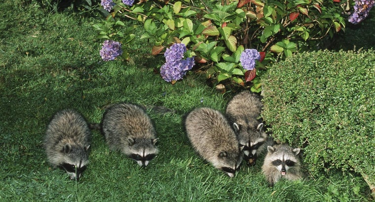 Are There Different Types of Raccoons?