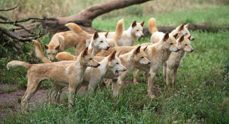 What Are Dingo Puppies?