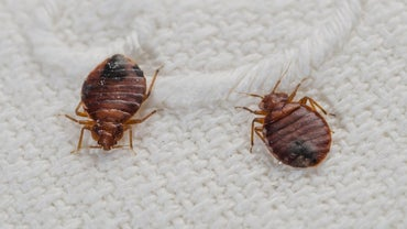 Is There a Disease Caused by Bedbugs?