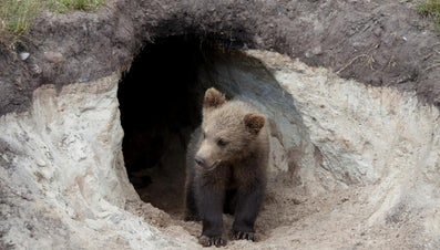 Do Bears Live in Caves?