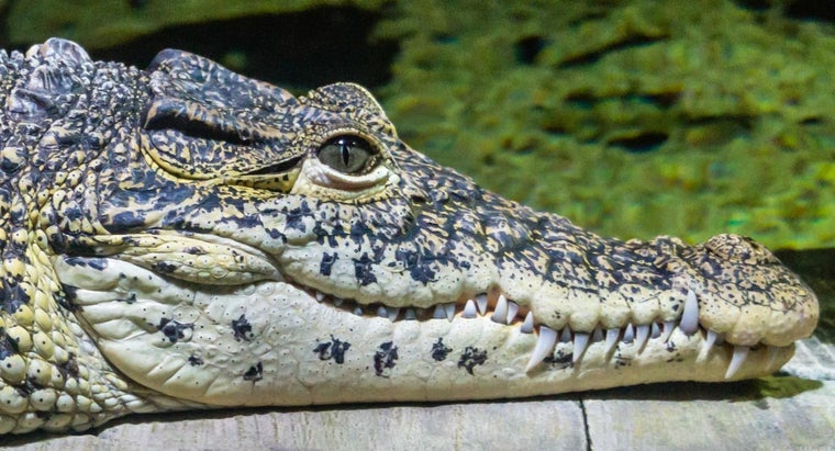 Do Crocodiles Have Ears?