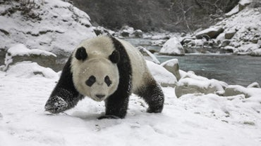 Do Pandas Hibernate During the Winter?