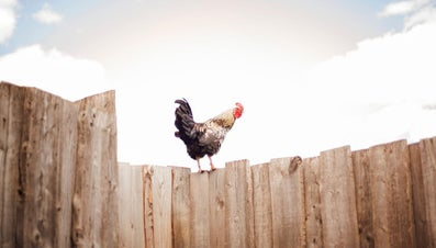 Do Roosters Lay Eggs?