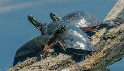 Do Turtles Mate for Life?