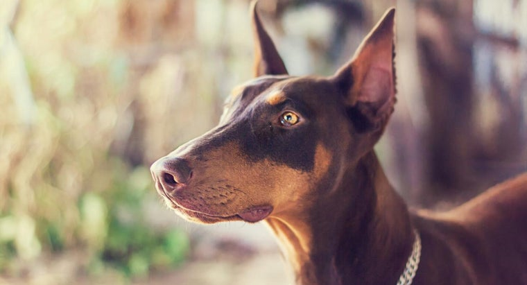 What Is Doberman Ear Posting?