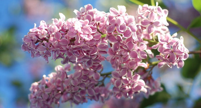 Why Doesn't My Lilac Bloom?