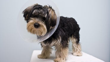 How Will a Dog Behave After Being Neutered?