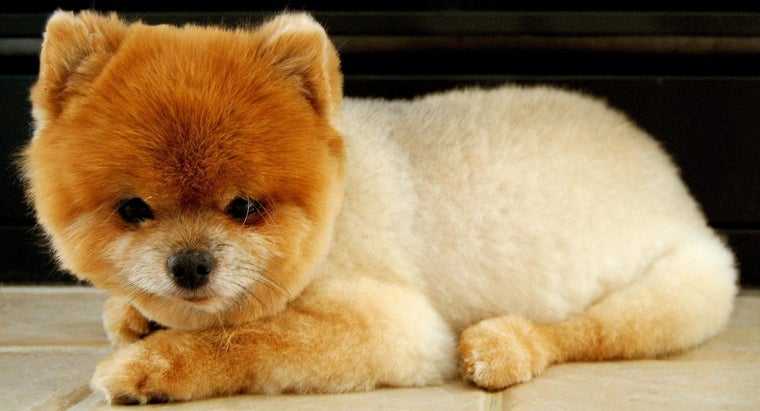 What Dog Breed Is Boo?