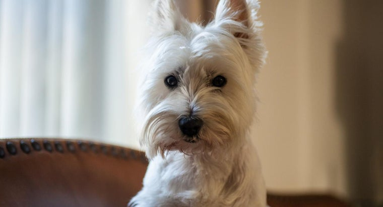 What Are Some Dog Breeds That Don't Shed?