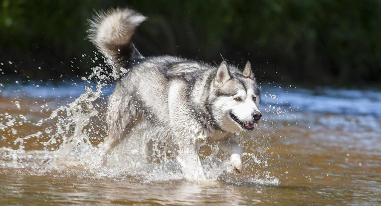 What Are Some Dog Breeds That Look Like Huskies?