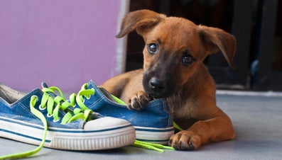 How Do You Get a Dog to Stop Chewing?