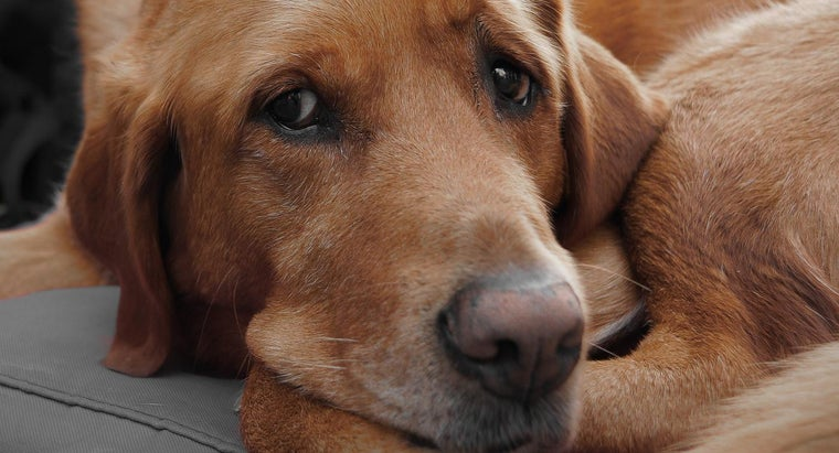 Do Dogs Cry Real Tears?