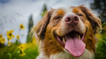 Pets 101: Why Do Dogs Howl?