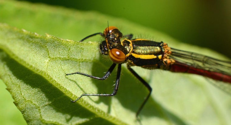 Is a Dragonfly a Carnivore?