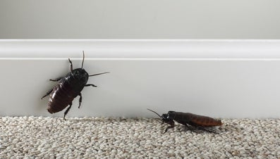 What Does Dreaming of Cockroaches Mean?