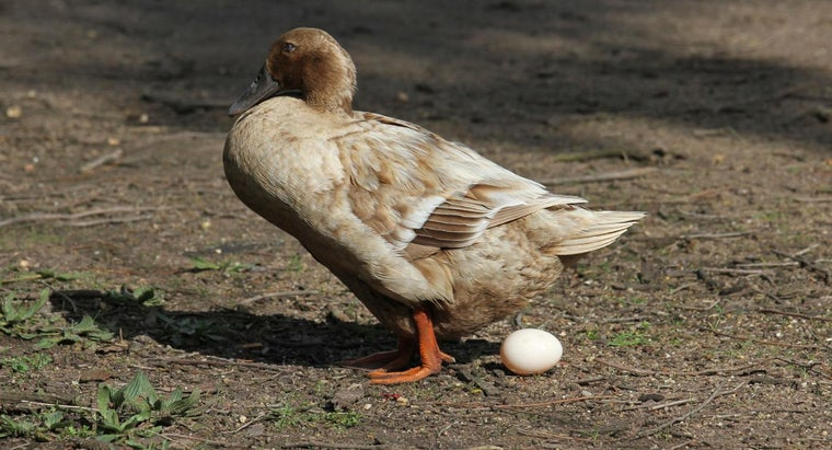 Do Ducks Lay Eggs?