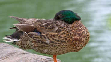 Where Do Ducks Sleep?