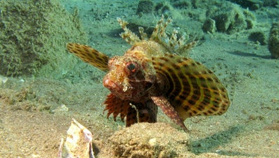 What Is a Dwarf Lionfish?