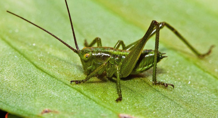 Where Are the Ears of a Cricket Located?