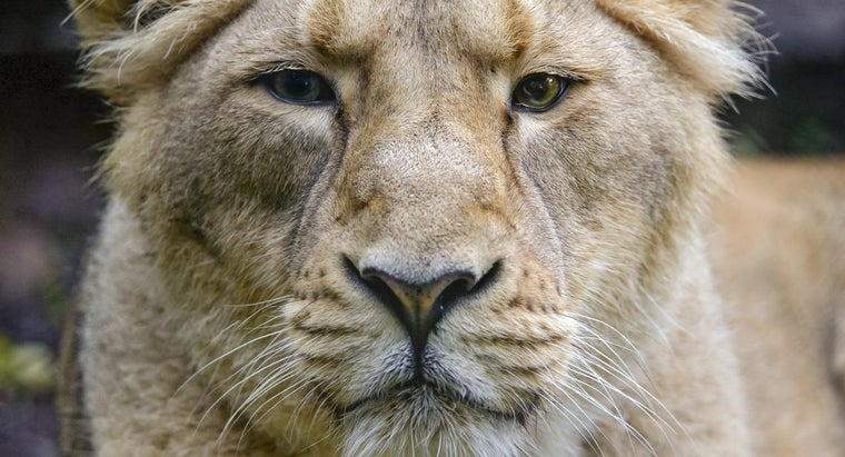 What Eats the Asiatic Lion?