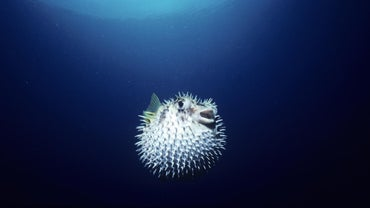 What Eats a Blowfish?