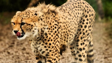 What Eats Cheetahs?