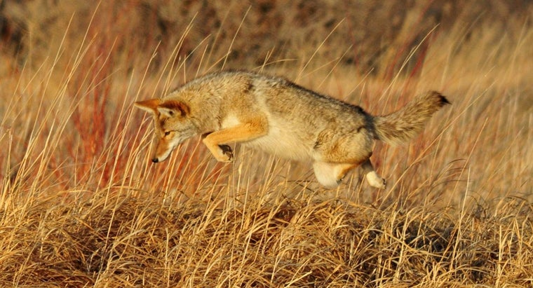 What Eats Coyotes?