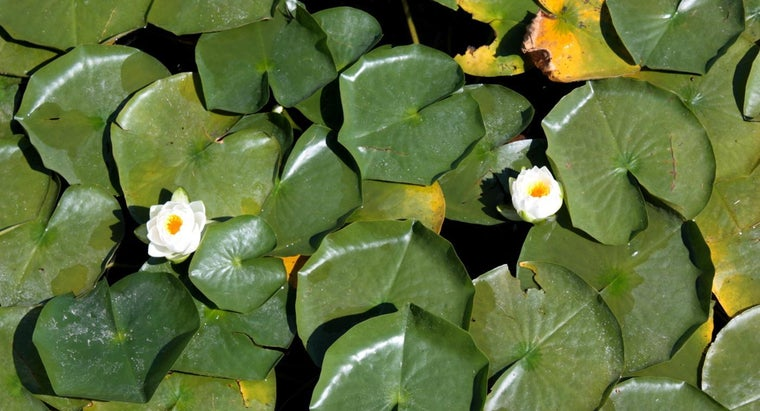 What Eats Lily Pads?