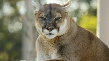 What Eats Mountain Lions?
