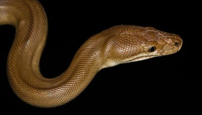 What Eats Pythons?