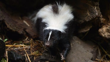 What Eats Skunks?