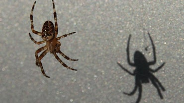 What Eats Spiders?