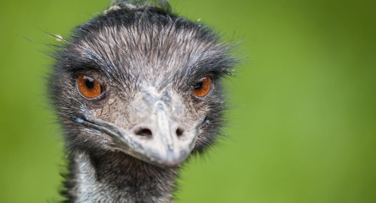 How Do Emus Escape From Their Predators?
