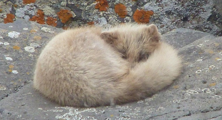 What Are the Enemies of the Arctic Fox?