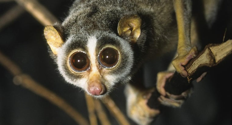 How Does a Slow Loris Protect Itself From Enemies?