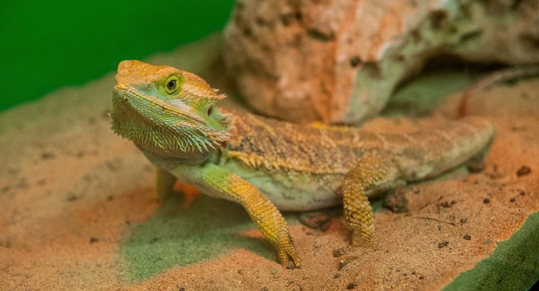What Equipment Do You Need for a Bearded Dragon Setup?
