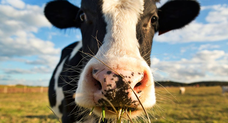 What Are Some Examples of Cow Adaptations?