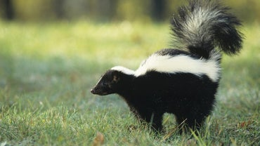 How Far Can a Skunk Spray?