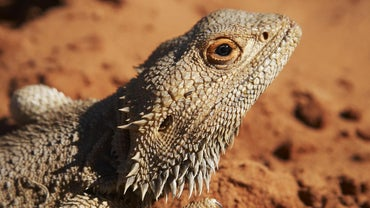 How Fast Do Bearded Dragons Grow?