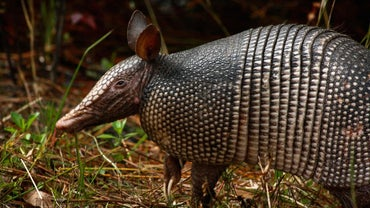 How Fast Can an Armadillo Run?