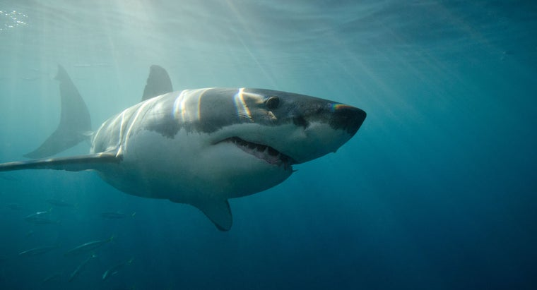 How Fast Can a Great White Shark Swim?