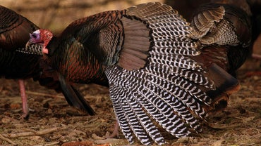 How Fast Can Wild Turkey Fly?
