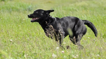 How Fast Do Labrador Retrievers Run?