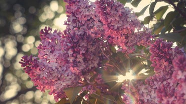 How Fast Do Lilac Bushes Grow?