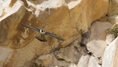 What Is the Fastest Flying Animal?